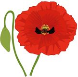 Poppy and bud. Vector. Single red poppy with single bud. Flower of remembrance to commemorate those who lost their lives and fought in Wars. Field Flower stock illustration