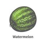 Vector single ripe juicy green watermelon Royalty Free Stock Photography