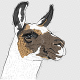 Vector sketch of Alpaca Stock Image