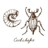 May bug sketch. Vector sketch of the beetle cockchafer and its larva drawing by hand on a white background royalty free illustration
