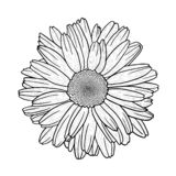 Vector sketch of camomile daisy flower stock photography