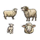 Vector sketch sheep, lamb horned ram set. Vector sketch cartoon style sheep, horned ram lamb and sheep head set.  illustration on a white background. Hand drawn Royalty Free Stock Photography