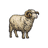 Vector sketch cartoon style sheep isolated. Vector sketch cartoon style horned ram. Isolated illustration on a white background. Hand drawn animal with big Stock Photo