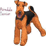 Vector sketch dog Airedale Terrier breed Stock Photography