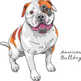 Vector sketch dog American Bulldog breed Stock Image
