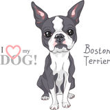 Vector sketch dog Boston Terrier breed serious Royalty Free Stock Photography