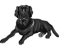 vector Sketch dog breed black labrador retrievers Royalty Free Stock Images