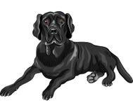 Vector Sketch dog breed black labrador retrievers. Color sketch of the serious dog breed black labrador retrievers lies isolated on the white background Royalty Free Stock Images