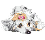 Vector Sketch dog Chinese Crested breed. Close-up portrait of a dog Chinese Crested breed lying Stock Photos