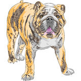Vector sketch dog English Bulldog breed Royalty Free Stock Photo