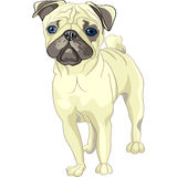 Vector Sketch dog fawn pug breed. Color sketch of the dog fawn pug breed Royalty Free Stock Images