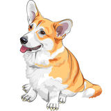 Vector Sketch dog Pembroke Welsh corgi smiling. Color sketch of the dog Pembroke Welsh corgi breed sitting and smiling Stock Photography