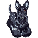 Vector sketch dog  Scottish Terrier breed standing Royalty Free Stock Photos