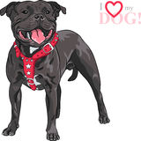 Vector sketch dog Staffordshire Bull Terrier breed. Sketch of the black dog Staffordshire Bull Terrier breed in red pinch collar Royalty Free Stock Images