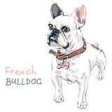 Vector sketch domestic dog French Bulldog breed Royalty Free Stock Photography