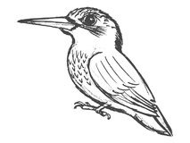 Small bird kingfisher. Vector, sketch, hand drawn illustration of kingfisher Royalty Free Stock Photos