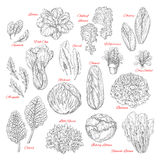 Vector sketch icons of salad leafy vegetables. Salads and leafy vegetables vector sketches. Lettuce veggies harvest of spinach, sorrel and watercress, chinese or Royalty Free Stock Image
