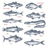 Vector sketch icons of sea and ocean fish. Fish species sketch icons set. Vector isolated horse mackerel, gilt-head bream or sea bass and anchovy, ocean eel Royalty Free Stock Photography