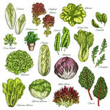 Vector sketch icons set of salads leafy vegetables Royalty Free Stock Images