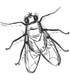 Vector Sketch Illustration - Fly Stock Photography