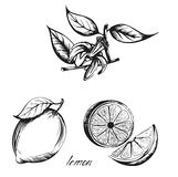 Vector sketch lemon image Royalty Free Stock Images