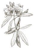 Vector Sketch of Oleander flower royalty free illustration