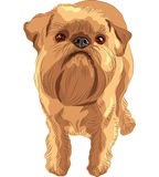 Vector Sketch red dog Brussels Griffon breed Stock Photo
