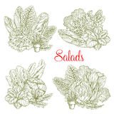 Vector sketch salads and farm lettuces vegetables Royalty Free Stock Photography
