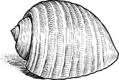 Hand drawing of a sea cockleshell. Vector sketch of a seashell Stock Photography