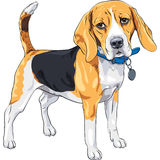Vector sketch serious dog Beagle breed. Vector color sketch serious dog Beagle breed standing with blue collar Royalty Free Stock Images