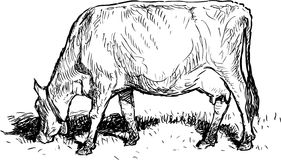 Grazing cow. Vector sketch of a walking cow royalty free illustration
