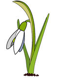 Vector snowdrop. Isolated on white Royalty Free Stock Photos