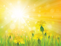 Vector of spring background with yellow dandelions Stock Image