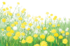 Vector of spring dandelions flowers isolated on wh Stock Image