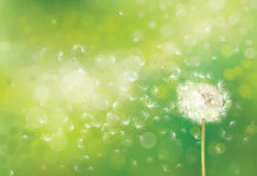 Vector spring  white dandelion. Royalty Free Stock Image