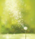 Vector spring white dandelion. Stock Image