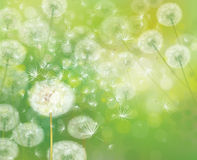 Vector spring  white dandelions. Royalty Free Stock Image