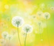 Vector spring  white dandelions. Stock Photo