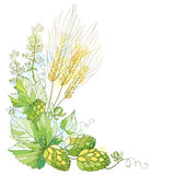 Vector stem with ornate Hops and barley ears. Barley, leaves and hops in pastel  on white. Hops and barley for beer. Royalty Free Stock Photo