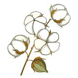 Vector stem with outline Cotton boll with leaf and capsule in white and brown isolated on white background. Ornate agriculture cultivated Cotton ball plant in Royalty Free Stock Image