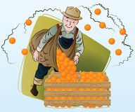 Vector stock illustration. Harvesting. A man collects oranges Stock Images