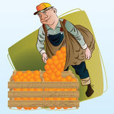 Vector stock illustration. Harvesting. A man collects oranges Stock Photo