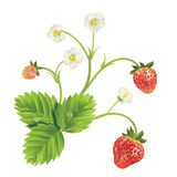 Vector strawberry Royalty Free Stock Images