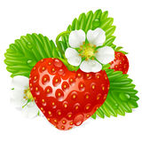 Vector Strawberry in the shape of heart. And white flowers Royalty Free Stock Images