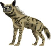 Vector striped hyena. Isolated illustration Royalty Free Stock Photos