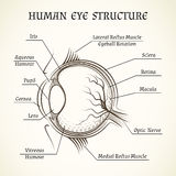 Vector structure of the human eye. Anatomy and medicine, iris and pupil, lens and macula, aqueous humour Stock Photography