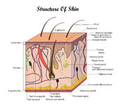 Vector structure of skin. Coor vector structure of skin with signatures Royalty Free Stock Photo