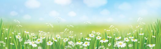 Vector  daisy  flowers field. Vector summer nature  background, daisy  flowers field Stock Photography