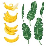Vector summer set with bananas and palm leaves isolated on white background Royalty Free Stock Photos