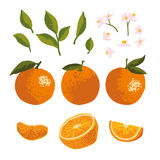 Vector summer set with oranges and flowers isolated on background Stock Photography
